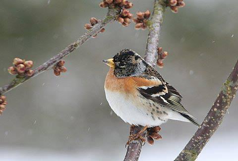 Nur im Winter im Bergischen: Der Bergfink. Foto: Hans-Georg Müller