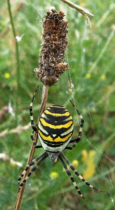 Leben auf dem Abfall von Jahrzehnten: Eine daumengroße Spinne hat in Gräsern ihr Netz gewebt. Foto: Lothar Kaiser