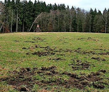 Spuren von Wildschweinen. Foto: Hans-Georg Müller, Club Natur