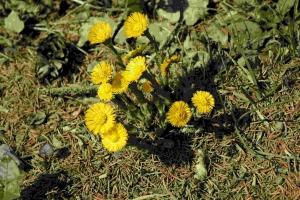 Blüten des Huflattichs